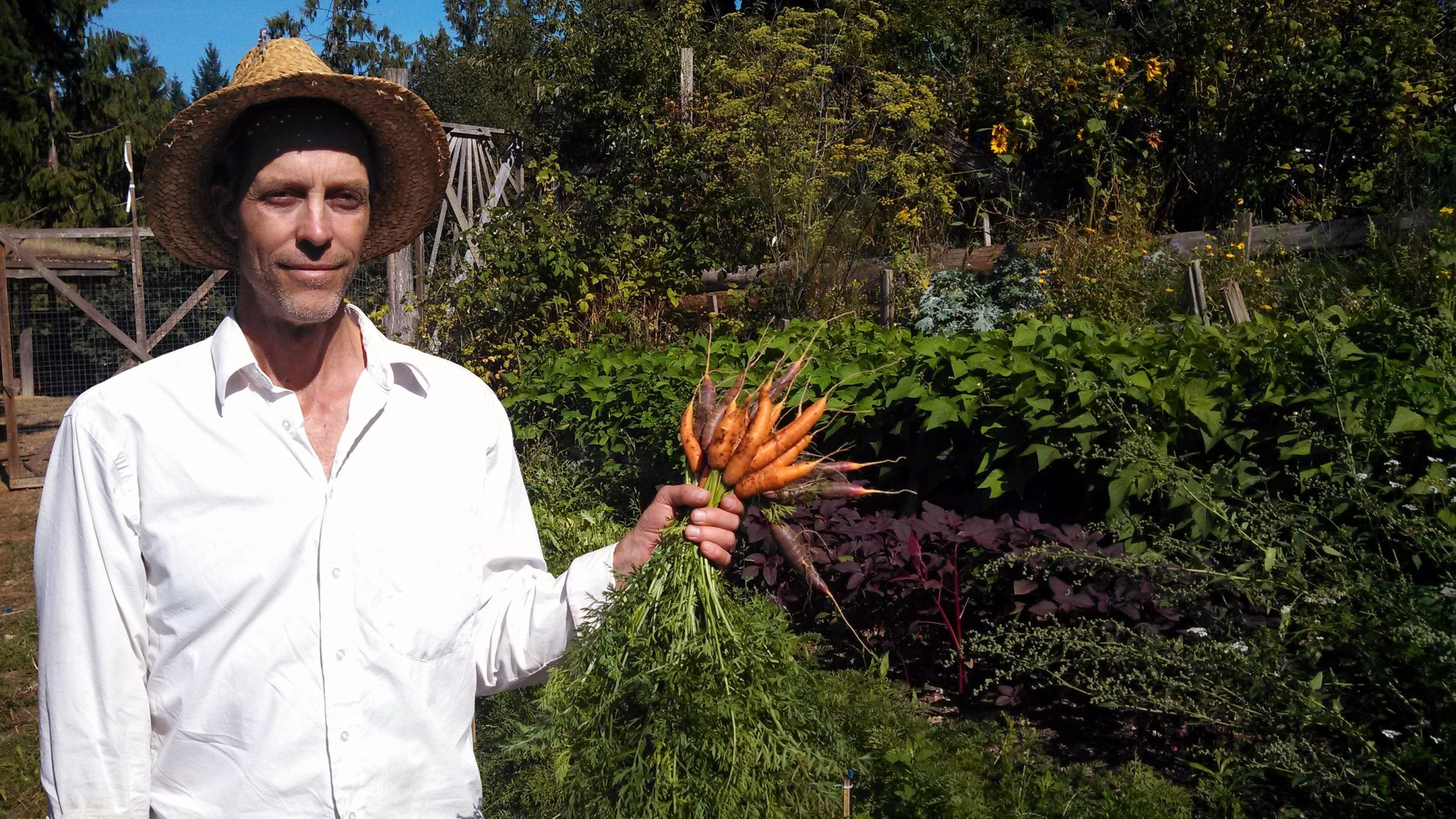 Man holding freshly picked carrots in a garden