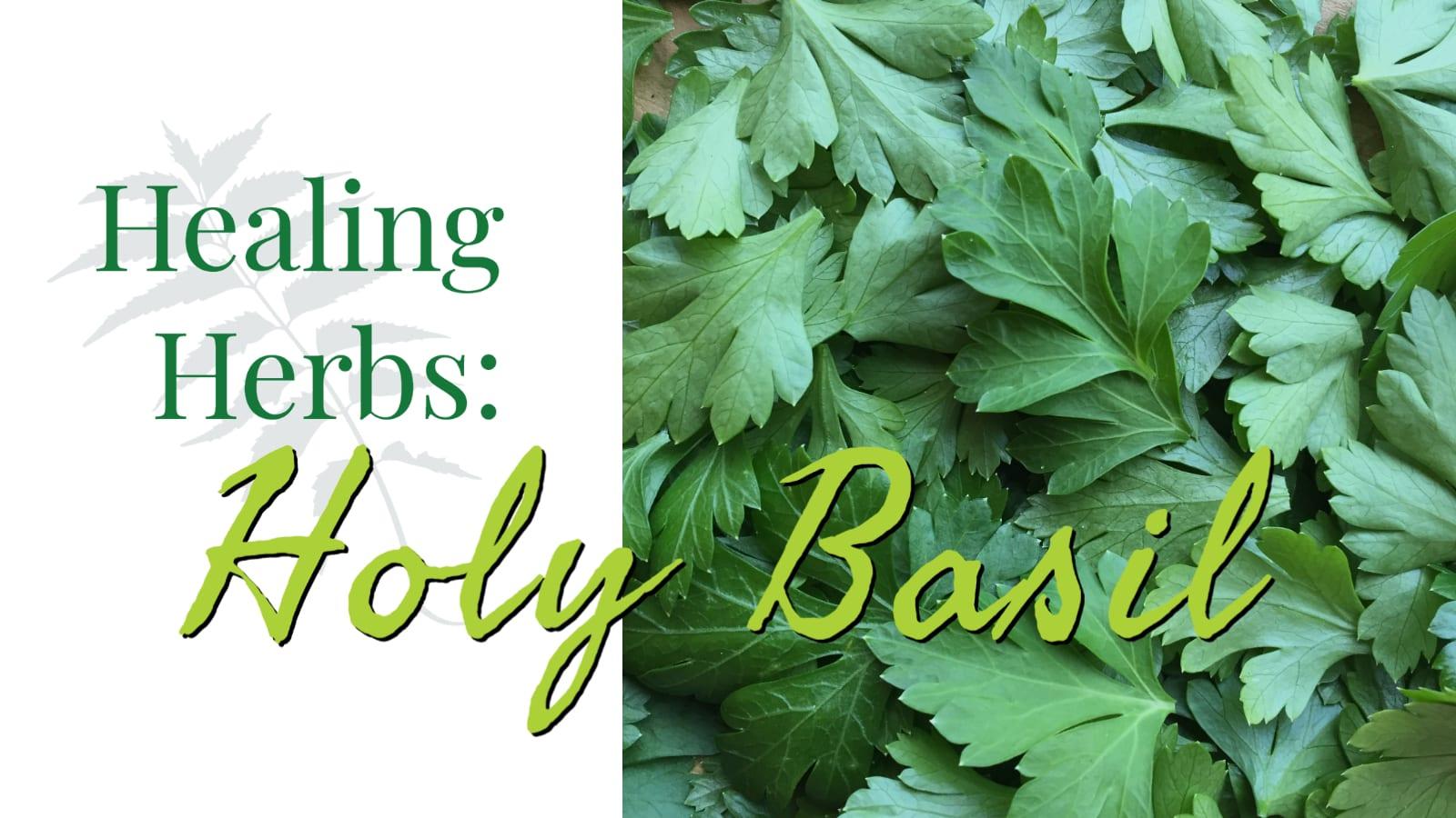 Healing Herbs: Holy Basil – CSA Week #13