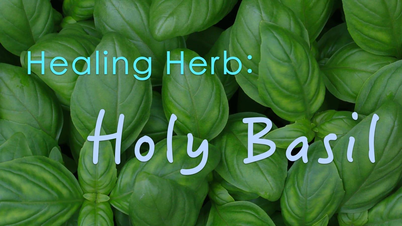 Healing Herb: Holy Basil